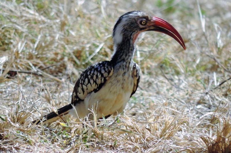 Birds Guide Botswana Beauty Okavanga Delta Animals In The Wild Bird Nature Red Billed Hornbill