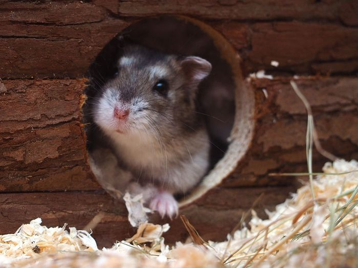 Hamster Love Hamsters Pets Hamster Cute Portrait Rodent Animal Themes Close-up Animal Eye Animal Head  Animal Nose Animal Face Animal Ear Animal Mouth Animal Body Part Animal Hair Snout
