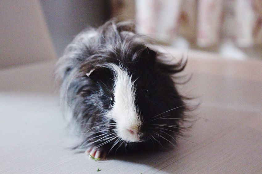 Guinea Pig Guineapig Guineapiglove Animals Pets Pet Little Friend