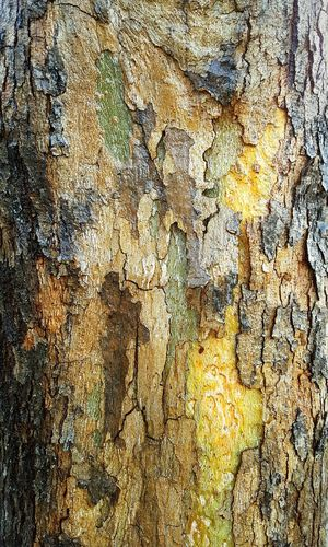 Tree Art Maple tree Texture Pattern Colors Color Harmony Nature Composition Samsung Galaxy Smartphonephotography Outdoors Naturelovers Atmospheric Mood Tree Trunk California winter color Art Inspirational Decorative Green Yellow Brown Orange Environment