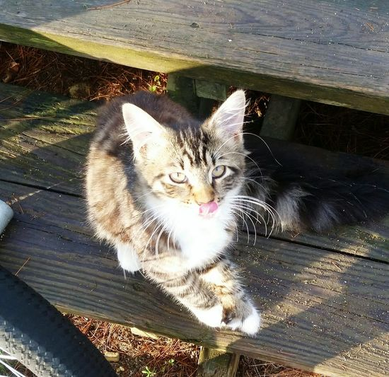 My Cat Sticking Her Tongue Out At Me One Animal Animal Themes Domestic Animals Domestic Cat Pets Whisker Cat Day Outdoors Looking At Camera No People Fluffy Cat Pretty Cat Cat Sitting Cat Face Family Cat