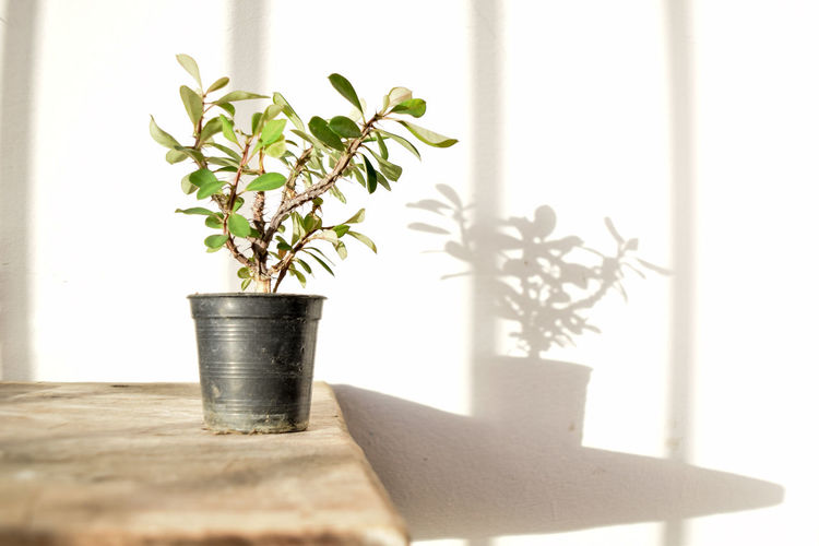Beauty In Nature Can Close-up Day Flower Pot Gardening Growth Houseplant Indoors  Leaf Metal Nature No People Plant Plant Part Potted Plant Selective Focus Succulent Plant Sunlight Table Window