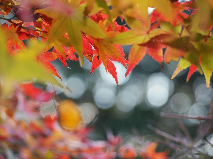 おはようございます😊 晩秋 Autumn Autumn Colors もみじ Natural Eye Em Nature Lover EyeEm Best Shots EyeEm Gallery 玉ボケ