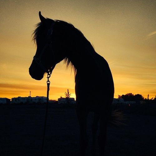 This horse is so freaking majestic I can't even handle it😍😍😍 I am loving the fact that it doesn't get fully dark until 8:30. Awesome summer nights here I come! Nofilter Believeitornot Ruethemustang Gorgeous sunsetbeautifulalmostsummer80degreestodaylovelysilhouette