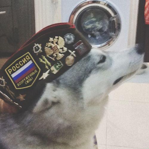 Huskies Siberian Husky Husky