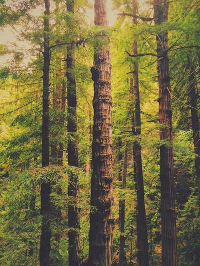California Redwoods Trees Green Hugging A Tree Escaping Relaxing The Great Outdoors - 2015 EyeEm Awards The Great Outdoors - 2016 EyeEm Awards