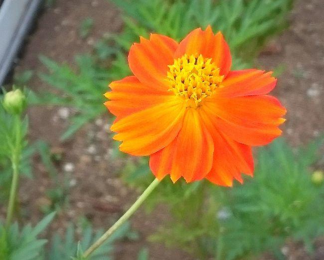Flower コスモス キバナコスモス Cosmos 他のより 鮮やかで濃いオレンジだった。