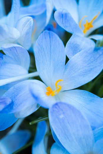 Flower Flowering Plant Plant Petal Fragility Beauty In Nature Vulnerability  Close-up Growth Freshness Inflorescence Flower Head Nature No People Outdoors Blue Pollen Purple White Color Day
