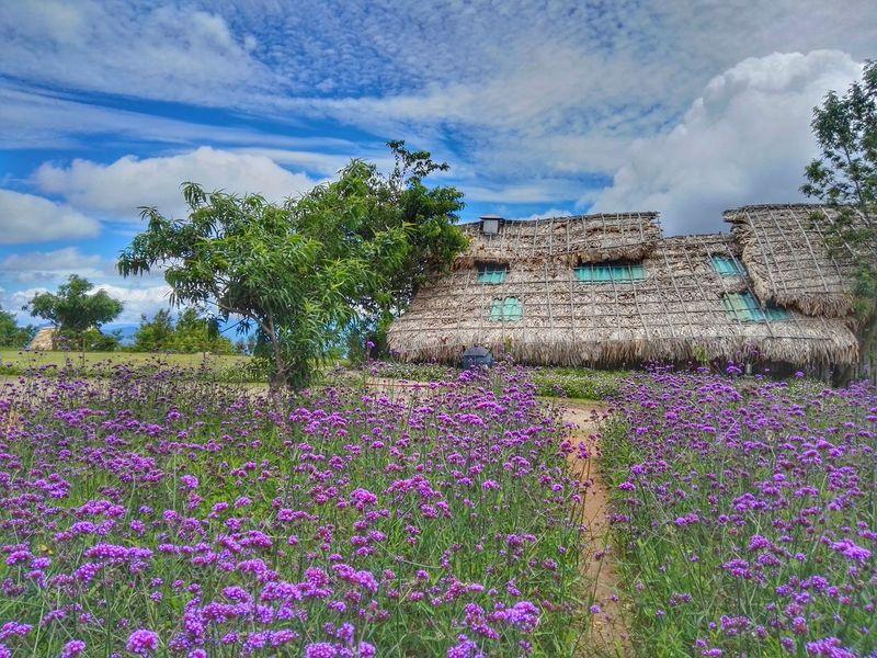 Beauty In Nature Chiang Mai Chiang Mai | Thailand Chiangmai Cloud - Sky Flower Idyllic Lavender Lavenderflower Monjam Nature No People Outdoors Plant Scenics Sky Tree