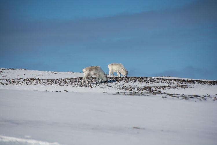 Reindeers standing on snowy field against sky