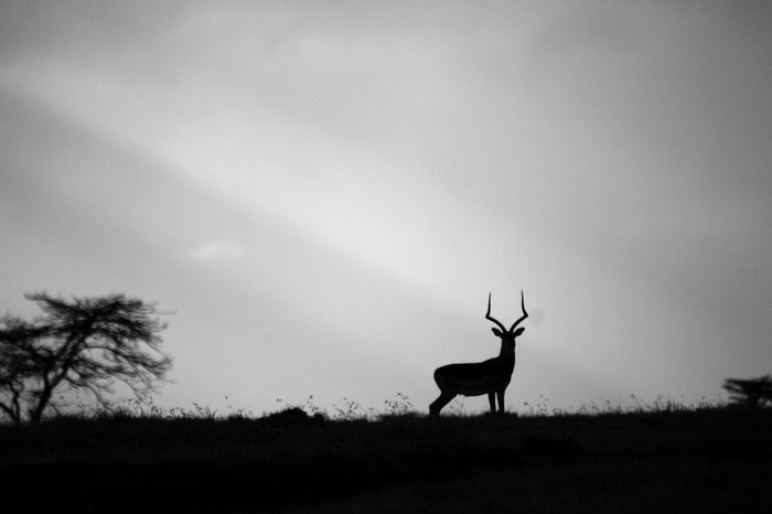 An Impala stops and gazes over us on top of the hill and in the sunbeams of the sunset Silhouette Silhouette_collection Silhoutte Photography Impala Maleimpala Africananimals Blackandwhite Hello World Wildlife & Nature Wildlifephotography Natgeo Nature_collection Natgeotravel EyeEm EyeEm Best Shots Canonphotography Eeyem Nature Lover