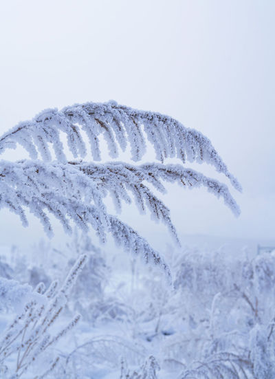 Close-up of snow covered plants against white background