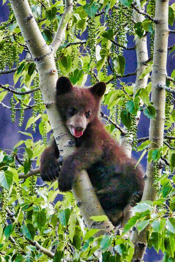 Baby Bear Animals In The Wild Bear Cub Bear Cubs Bear In Tree Black Bear