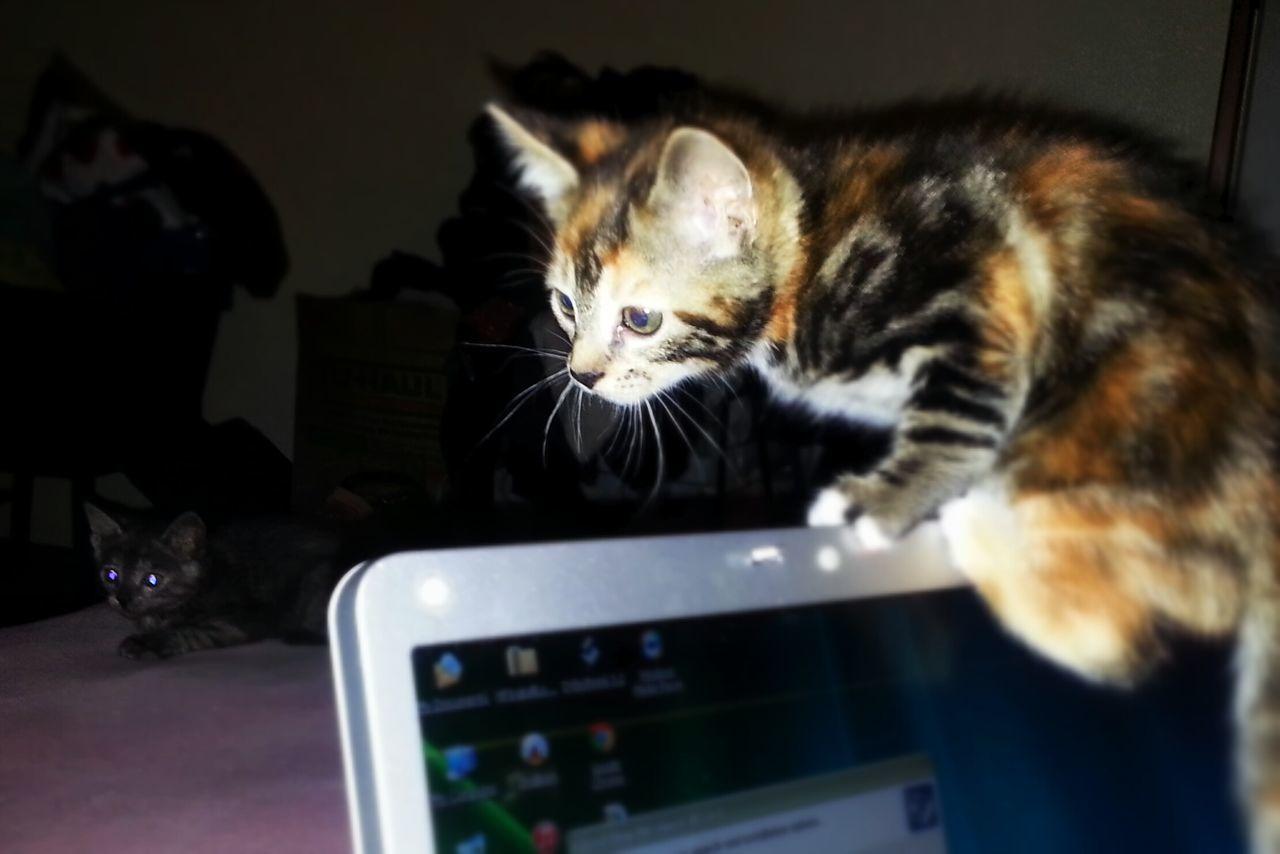Tortoiseshell Cat Climbing Over Laptop At Home