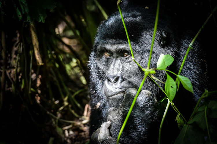 Close-up of chimpanzee looking away in forest