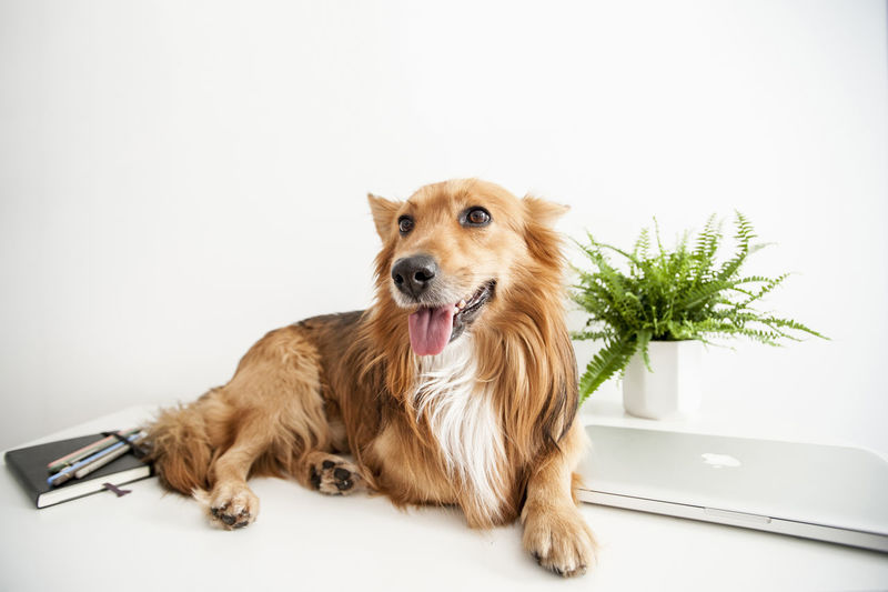 Brown Eyes Check This Out Chill Computer Corgi Cute Desk Dog Golden Green Color Home Motivation Notebook Notebooks  Office Pets Plant Smart Tongue White Background Work