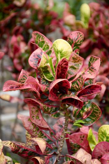 Beautiful Codiaeum Variegatum Croton Euphorbiaceae Natural Nature Plant Beauty In Nature Beauty In Nature Branch Close-up Day Foliage Fragility Freshness Garden Growth Leaf Leaves Limb Nature No People Outdoor Outdoors Plant Purple Red Variegated Laurel Yellow