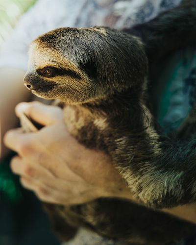 Close-up of a hand holding a sloth