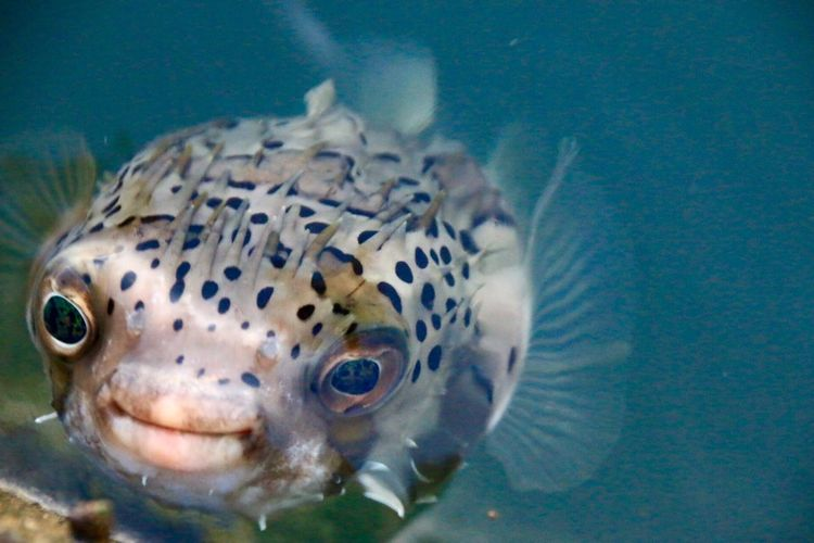 ギョ‼︎ ギョ‼︎ 🐡😳🐡海面から顔だしたハリセンボン🐡🐟🐠 Gyo !! Gyo!! Porcupine fish🐡🐡 Nature_collection Sea Nature Porcupine Fish Taking Photos Sea Level EyeEm Best Shots Nature Photography From My Point Of View