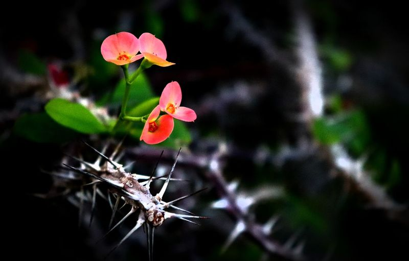 Fighter Canon Sl2 200D 1855mm Flowers Park Plants Indoors  Darkbackground Floral Thorns Nopeople Nature Plant Leaf Flower Beauty In Nature No People Red Flower Head