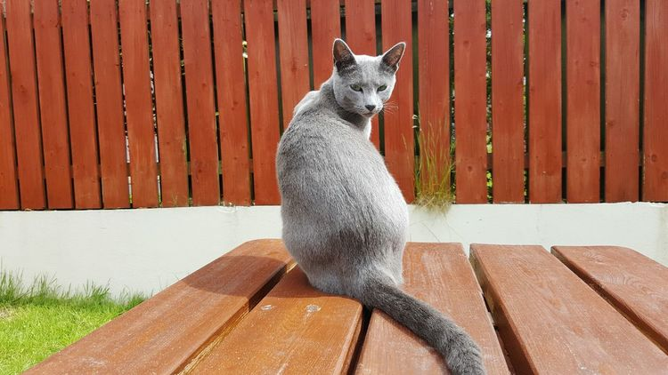Leeloo posing like a pro! 😊 Backyard Garden Garden Photography Fauna Animal Nature Gray Cat Gray Russian Blue Cat Russian Blue Kitty Cat Sunny Carrick On Shannon Leitrim Ireland S6 Edge Photography