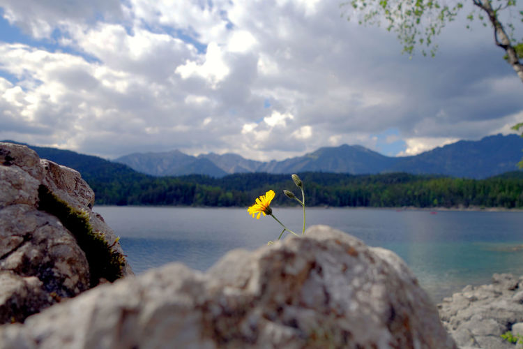 Close-up of yellow flower against countryside lake