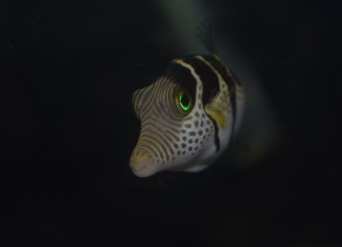 Eric the puffer fish Underwater Swimming Water One Animal Fish Animal Themes Sea Life Nature Close-up Aquarium Valentini Puffer Pufferfish Puffer Marine Marine Life Saltwater Aquarium Saltwater Saltwaterfish Marine Aquarium