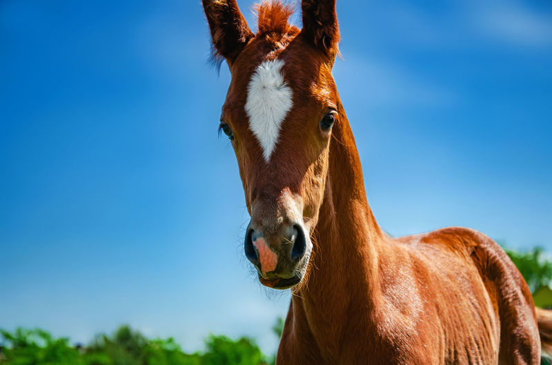 Foal brown color in a pen on a pasture on a background blue sky.