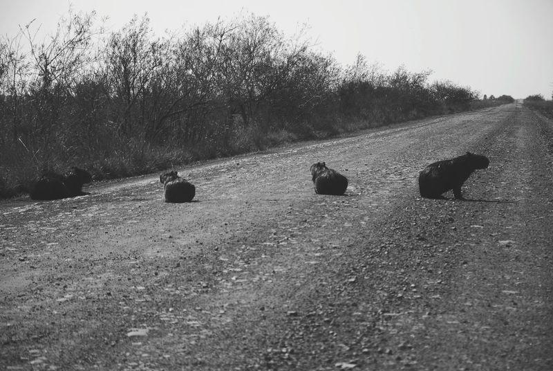 The Beatles en Corrientes Funytime Carpinchos Capibara Argentina Esteros Del Ibera Corrientes Animal Family