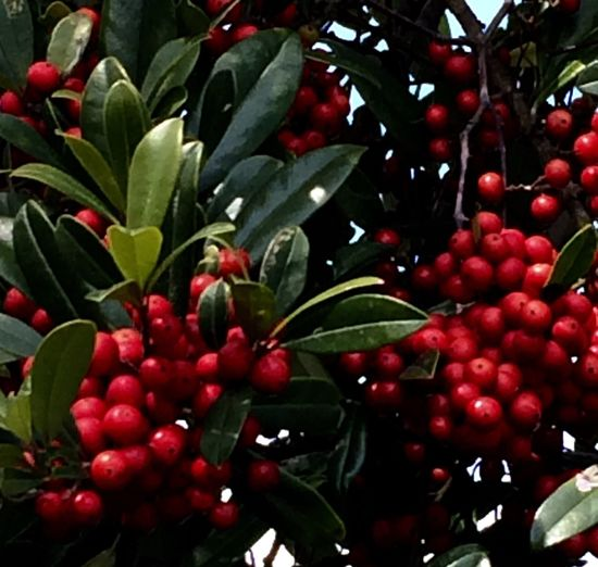 Red Berries Red Berries In Tree Beauty In Nature Color Palatte