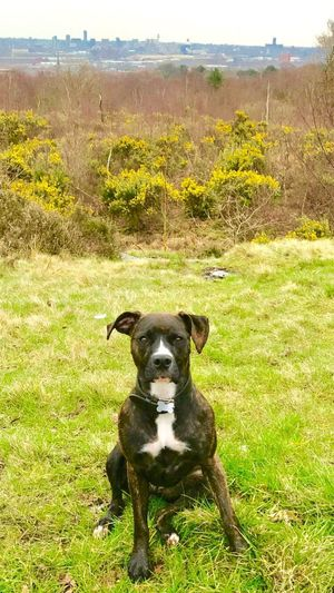 Outdoors Liverpool Skyline Staffie Posing Dogwalk Bidston Hill Wirral Trees Green Nature Beauty In Nature United Kingdom Wirral Peninsula Dogs Of EyeEm Animal Themes