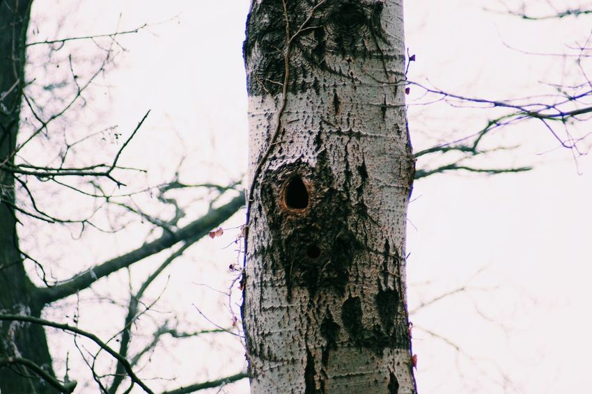 Woodpeckerholes Growth Close-up Tree Trunk Nature Branch Tree No People Bird Tranquility Sky Outdoors Beauty In Nature Animal Themes Woodpecker Ivy Day Bird Photography Taking Photos Birds Of EyeEm  Bare Tree Wood Pecker Hole Wood Pecker Birdhouse Tree Trunk