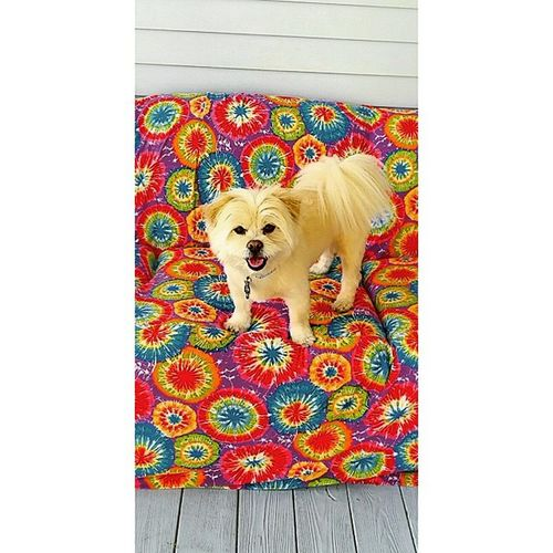 Londonharvey jumping on the couch! Tiedye Couch Gramshouse cozy mystory114 lovemylife lifeisbetterinCOLOR pomerainan LaPom handsomeboy colorful loveit love hippie swag hip earthchild eartling backtoearth