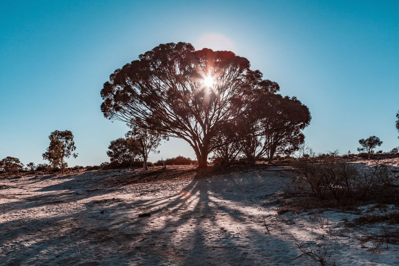 Sun shining through beautiful tree in South Australia Australia Australian Landscape Gum Tree Nature Outback South Australia Travel Arid Climate Beauty In Nature Clear Sky Day Destinations Environment Field Land Landscape Lens Flare Mallee Nature No People Non-urban Scene Outdoors Plant Scenics Scenics - Nature Shadows Sky Sun Sun Flare Sunbeam Sunlight Sunshine Through Tranquil Scene Tranquility Tree