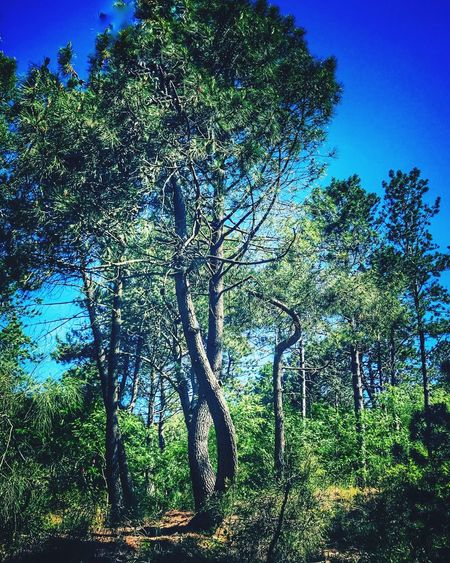 Tree Nature Growth Forest Day Tranquility Beauty In Nature Tranquil Scene Branch Outdoors No People Scenics Blue Landscape Tree Trunk Clear Sky Sky The Photojournalist - 2017 EyeEm Awards Hugging Trees Intrecci Vesuvio