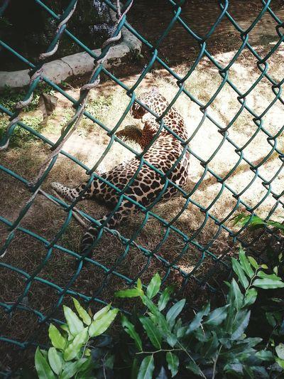 Zoo Animals  Scary Moment Asian Leopard Dangerous Buddy But Silent Killer