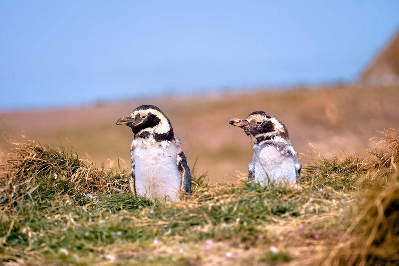 Molting magellanic penguins.