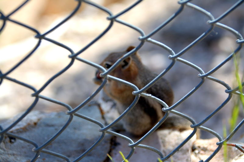 Chipmunk having lunch at the Grand Canyon Nice Day The Week on EyeEm Animal Themes Background Backgrounds Bird Bokeh Bokeh Photography Cage Chainlink Fence Chipmunk Chipmunk Photography Close-up Day Fence Focus Focus On Foreground Mammal Metal Nature No People One Animal Outdoors Protection Safety