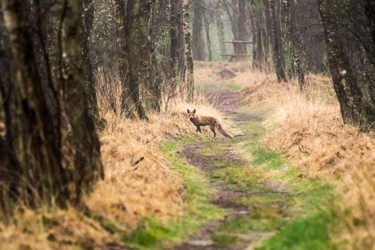 Fox on track in forest