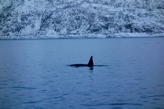 Norway Animal Themes Animal Wildlife Male Orca Orca Outdoors Sea Life Water Whale