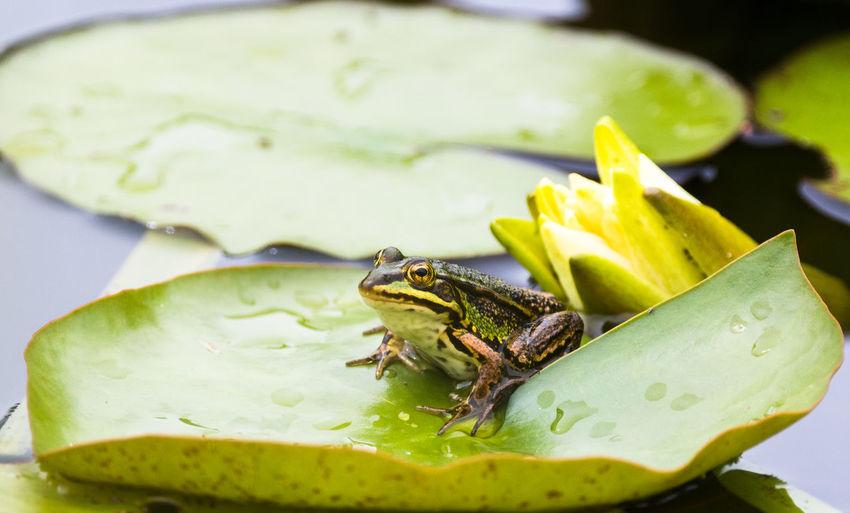 Frog Frog Nature Quak Amphibian Frog Eyes Lake Selective Focus Water