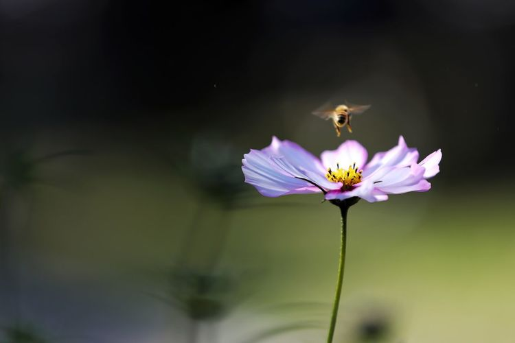 이륙. . . #하루한컷 #가을 #코스모스 #벌 #하늘공원 #5DMARK4 #새아빠백통 #EF70200F28LIIISUSM Flower Head Perching Flower Pollination Bee Butterfly - Insect Insect Petal Uncultivated Pink Color