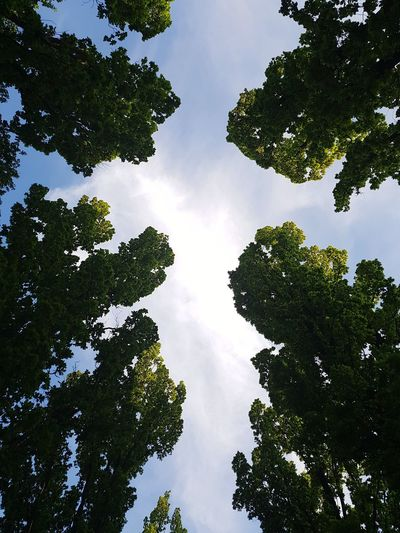 Tree Tree Area Forest Branch Pinaceae Leaf Environment Sky Green Color Treetop Tree Canopy  Grove