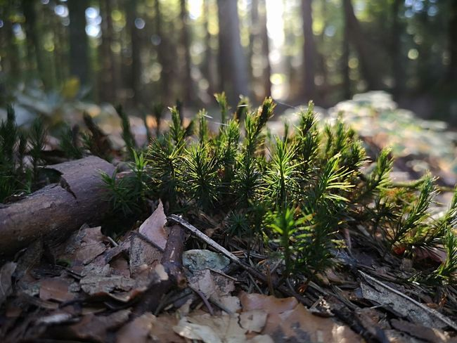 ▫️Young firs▫️ Fir Tree New Life First Eyeem Photo Eyemphotography EyEmNewHere Eyemnaturelover Beauty In Nature Swiss Forest EyeEm Selects Tree Pine Tree Pinaceae Close-up