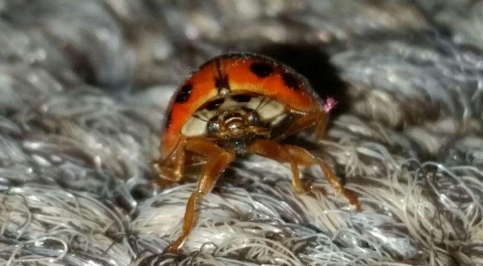 Ladybug Lady