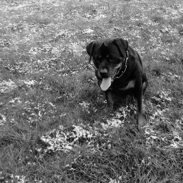 Ich Liebe Meinen Hund! EyeEm Dog Lover Dog Rottweiler Hund Dog, Hanging Out, Enjoying Life My Dog Is Cooler Than Your Kid. EyeEm FREYA ♡ :-)