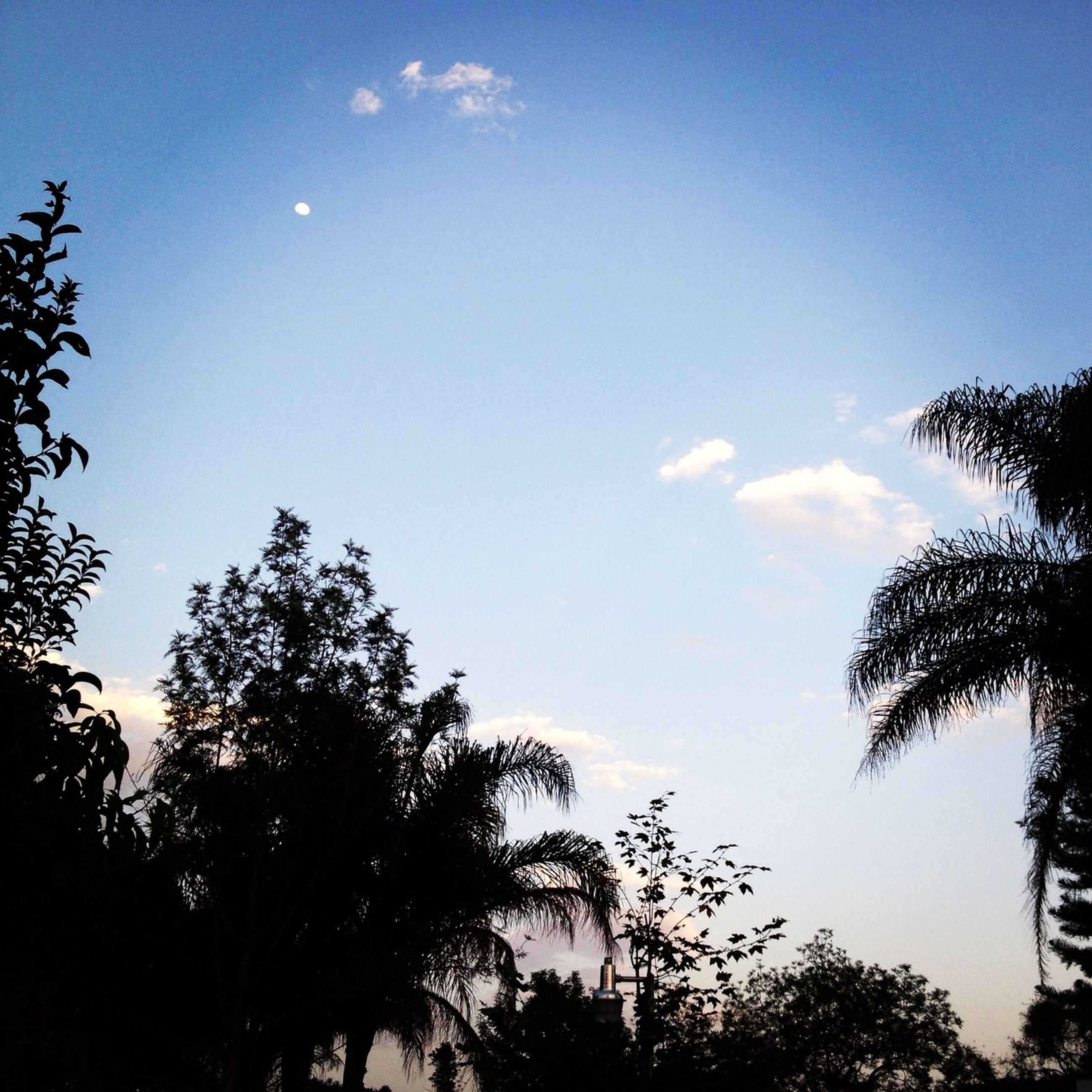 tree, low angle view, silhouette, sky, blue, growth, tranquility, nature, beauty in nature, scenics, tranquil scene, branch, sunlight, treetop, palm tree, clear sky, outdoors, no people, high section, day