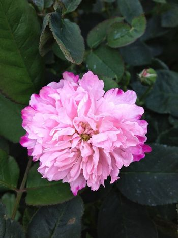 Rose Fantin Latour Vintage Roses