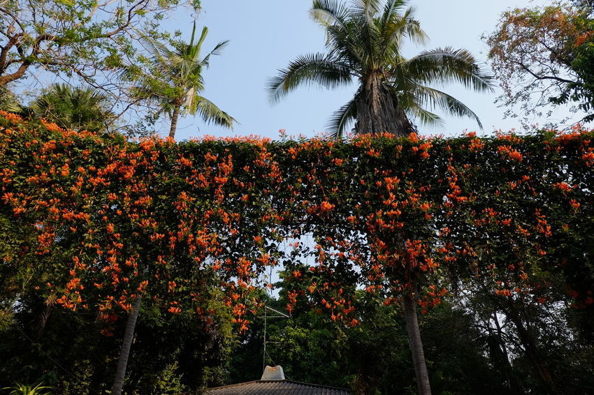 Orange Trumpet curtain on electric wire Beauty In Nature Day Flower Fragility Freshness Growth Low Angle View Nature No People Orange Trumpet Flowers Outdoors Sky Tree Tropical Plants
