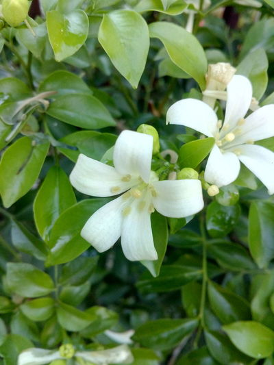 White Flowers And Buds Green Color Beauty In Nature Leaf Plant Scented Flower Head Springtime Day No People Flower Nature Growth Freshness Petal Fragility Close-up Outdoors